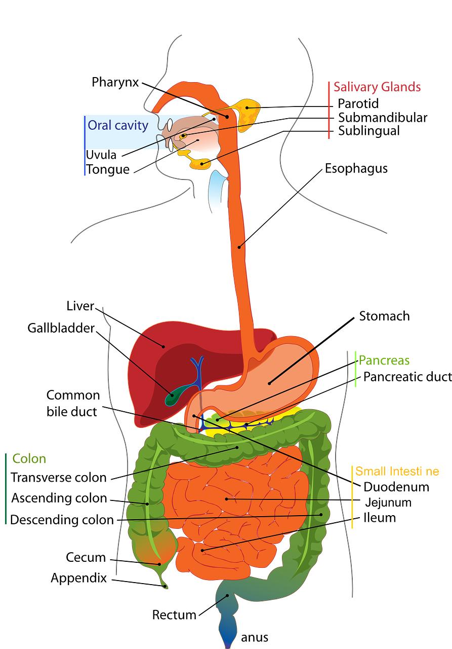 Tullius-Digestive-System